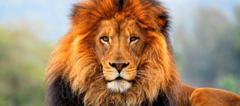 Lion-770x340